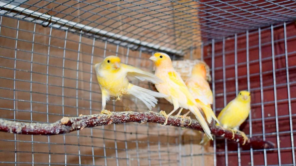 Расцветка птиц разная: ярко-оранжевая, желтая и лимонная