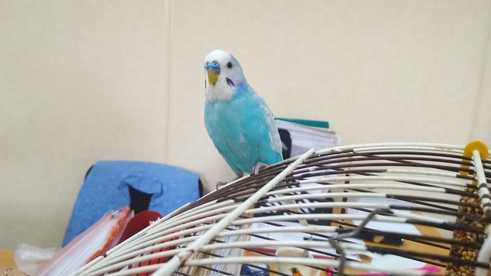Часть времени попугай проводит в клетке, но в основном летает свободно