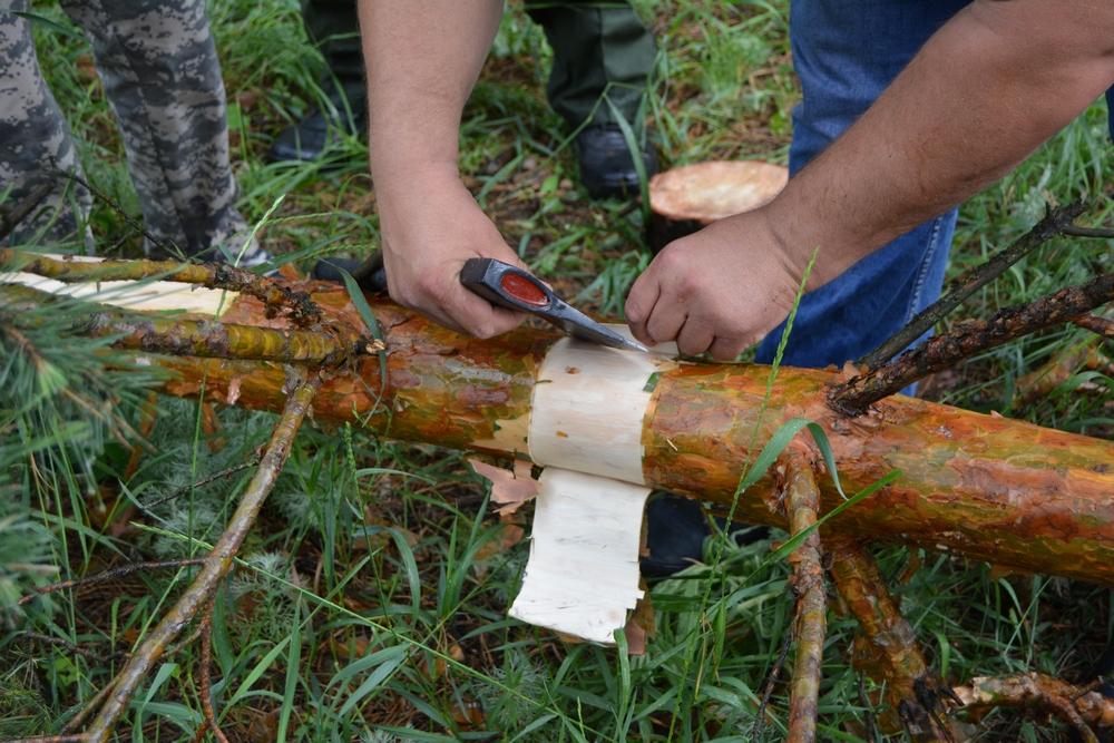 Ветки и кору сосны исследуют лабораторно