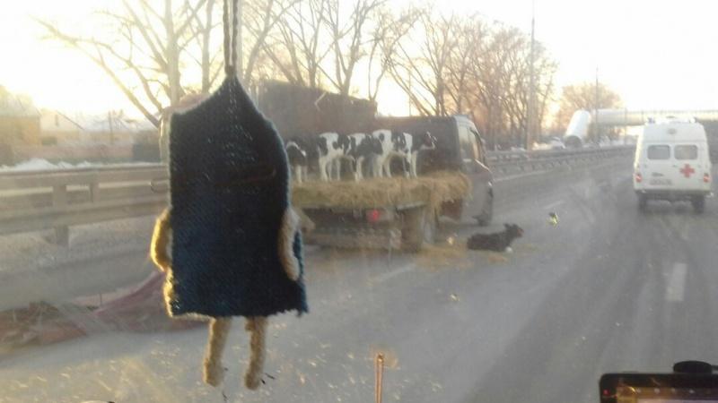 Вмассовом ДТП пострадали телята