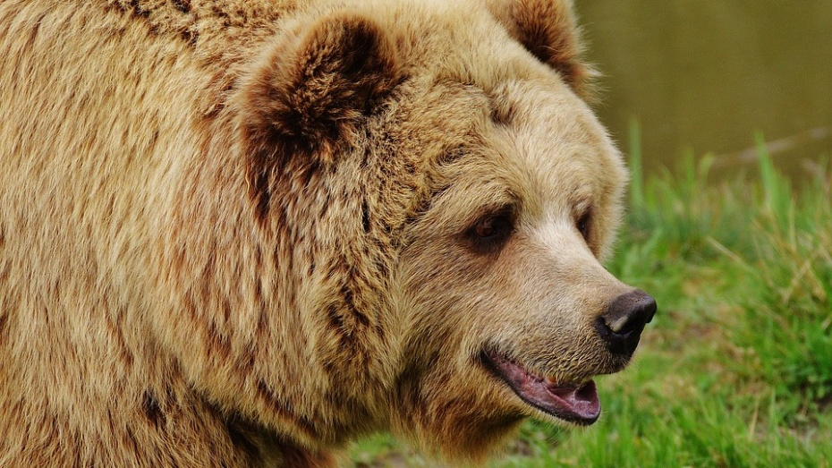 Под Воронежем ветеринары взяли на экспертизу часть тела напавшего на пенсионера медведя
