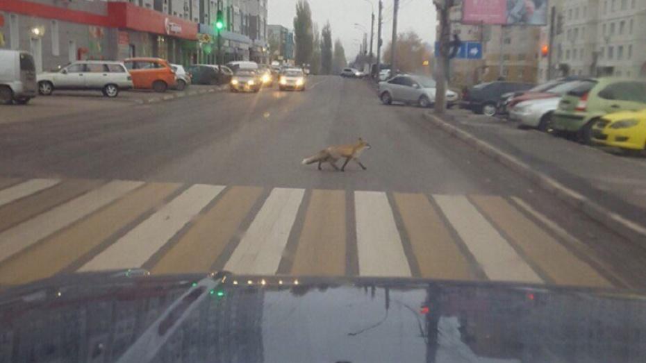 ВВоронеже сфотографировали лису, которая переходила дорогу по«зебре»