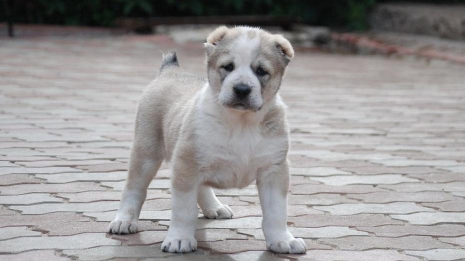 картинки маленького щенка алабая конечно