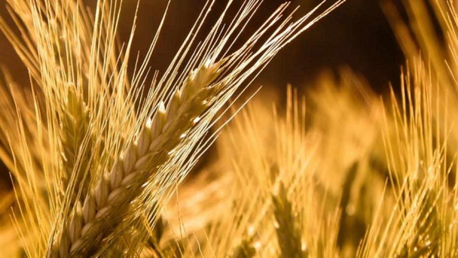 Сельхозпроизводители области высевали на своих полях непроверенные семена