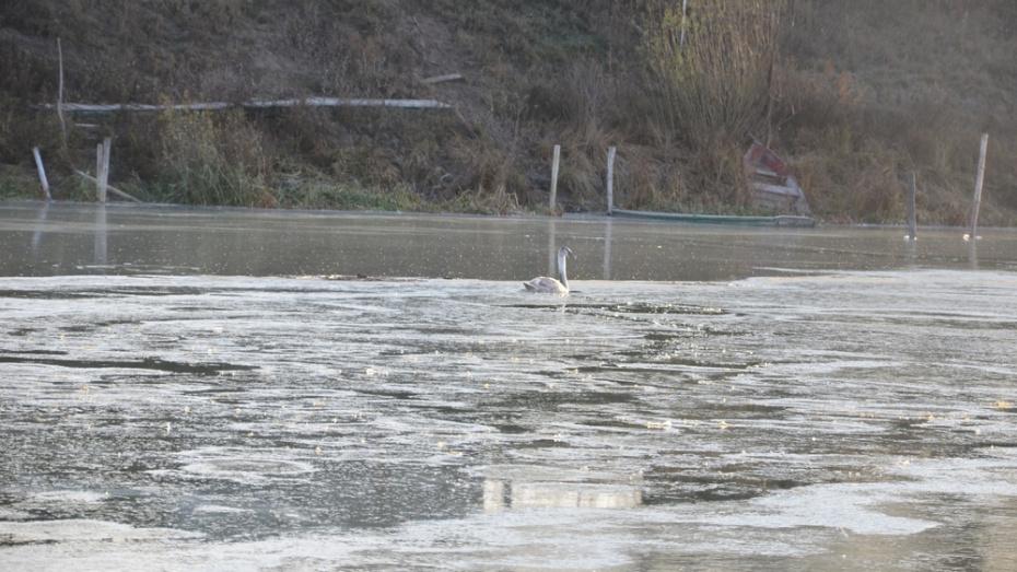 В пригороде Павловска на замерзающей реке рыбаки заметили лебедя
