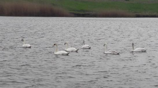 В Эртильский район прилетели краснокнижные лебеди-шипуны