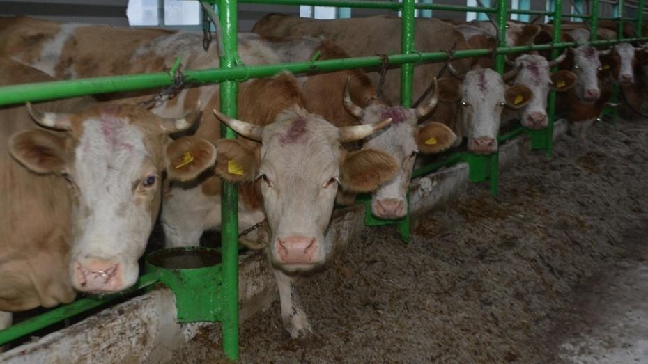 Молочную ферму на 2,2 тыс голов в Воронежской области построят к началу 2018 года