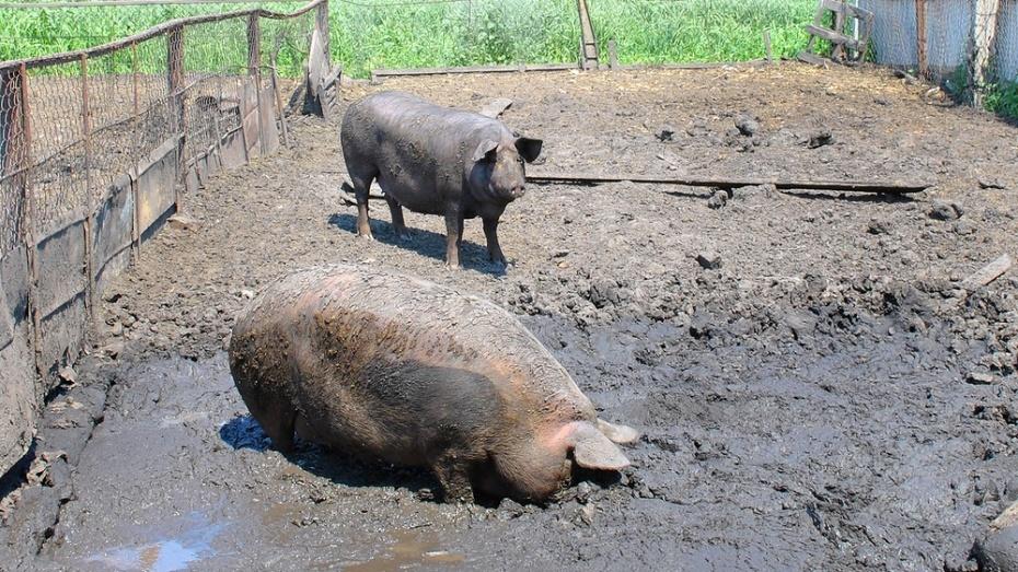 Семилукского фермера оштрафовали за создание летнего лагеря для свиней в водоохранной зоне