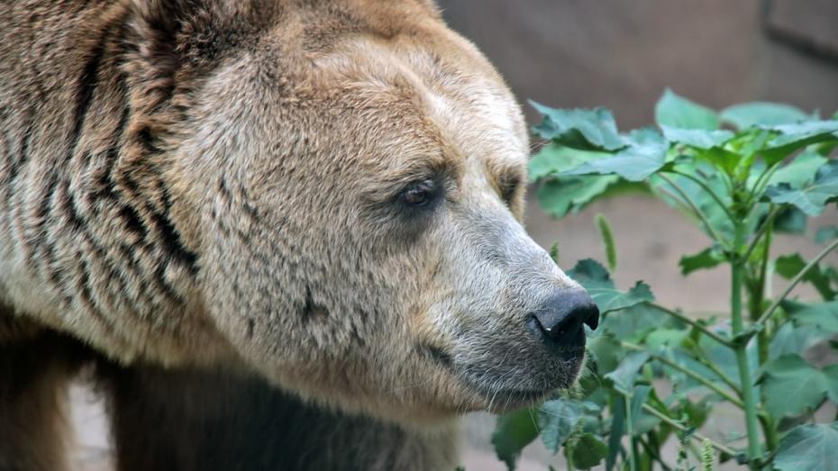 Пожилой медведь Воронежского зоопарка впервые вышел на прогулку