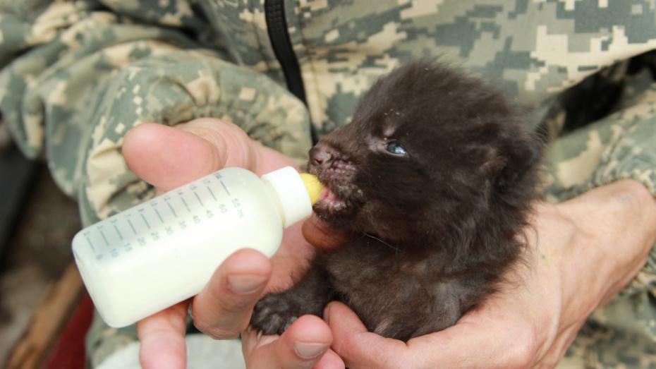 В воронежском зоопарке у пары чернобурых лисиц родился детеныш