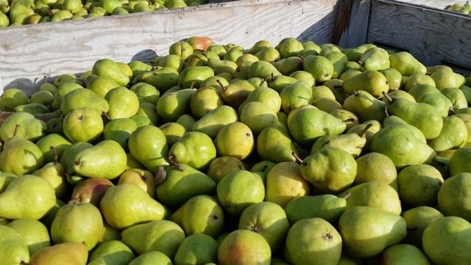 ВВоронеже отыскали иуничтожили практически 300 килограммов польских груш