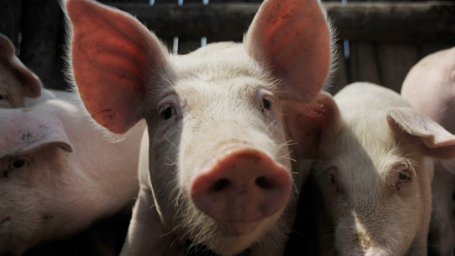 «Агроэко» запустит новый свинокомплекс в Воронежской области в 2016 году