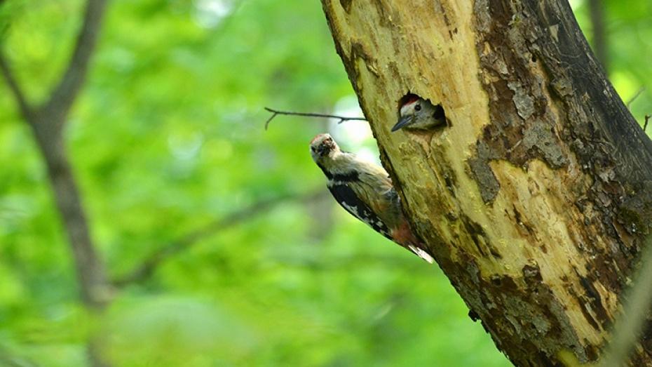 Воронежский заповедник опубликовал видео кормления потомства дятла