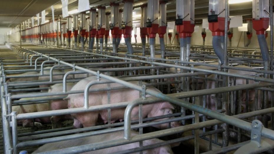 В Острогожском и Хохольском районах немецкая компания построит свинокомплексы