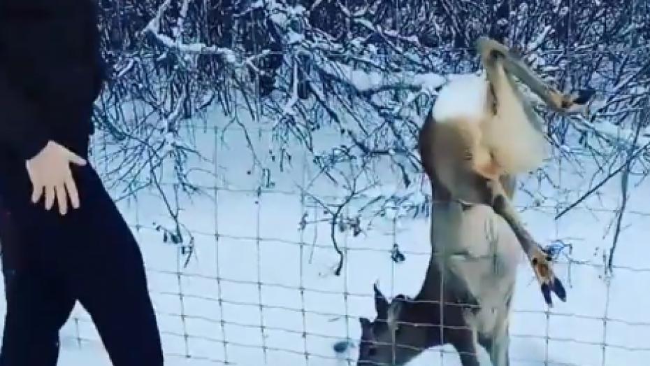 В Сети опубликовали видео спасения молодого оленя в Воронежской области