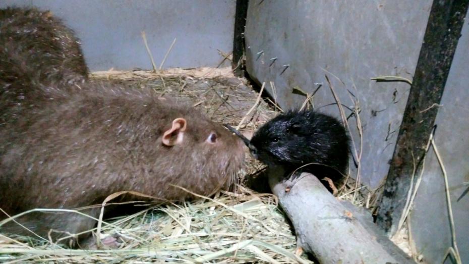 В зоопитомнике под Воронежем появилось потомство у нутрий и камерунских коз