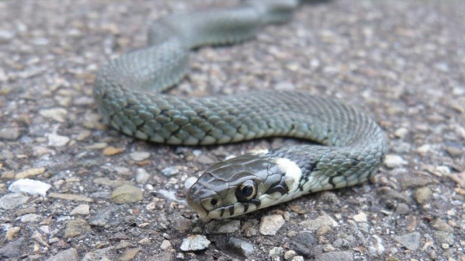 Посадили зарешетку: граждане Воронежа вызвали спасателей из-за найденной наулице змеи