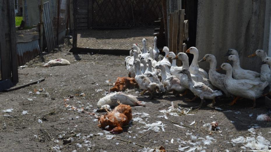 Житель павловского села Елизаветовка лишился 50 голов домашней птицы из-за лис