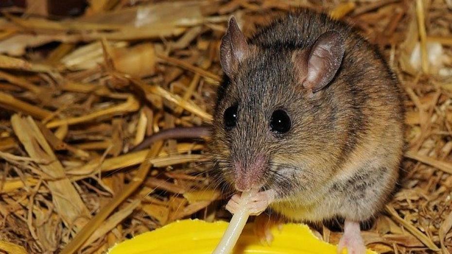 В столовой Воронежского строительного университета нашли крупы с мышиными экскрементами