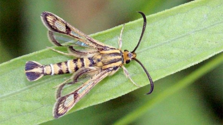 Энтомологи нашли новый для Воронежского заповедника вид бабочки