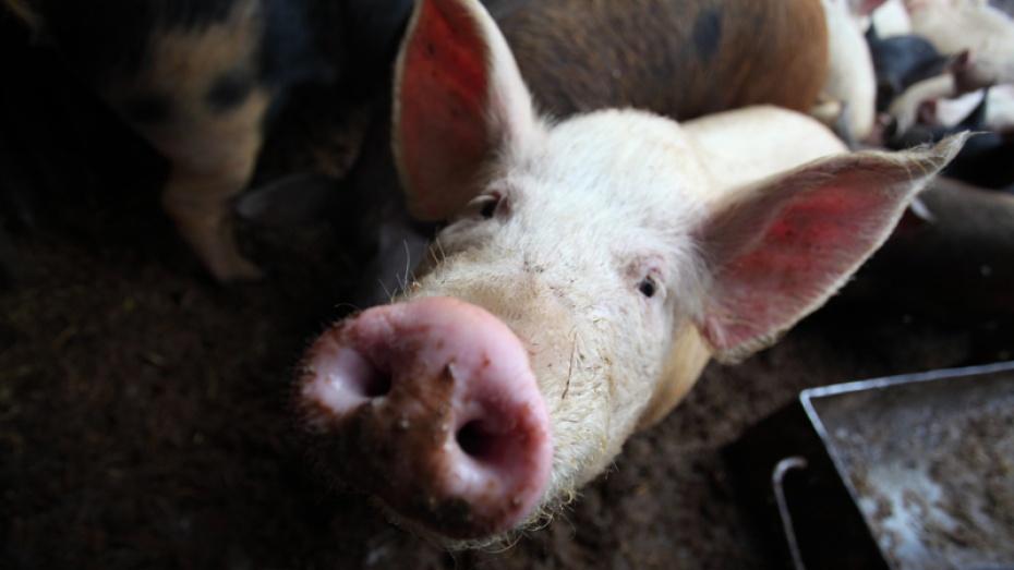 Свинокомплекс на 40 тыс голов появится в Воронежской области в 2016 году