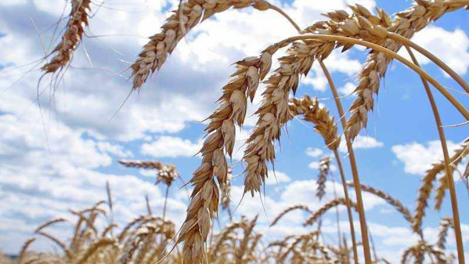 Новохоперский район планирует собрать самый богатый урожай зерна за последние годы