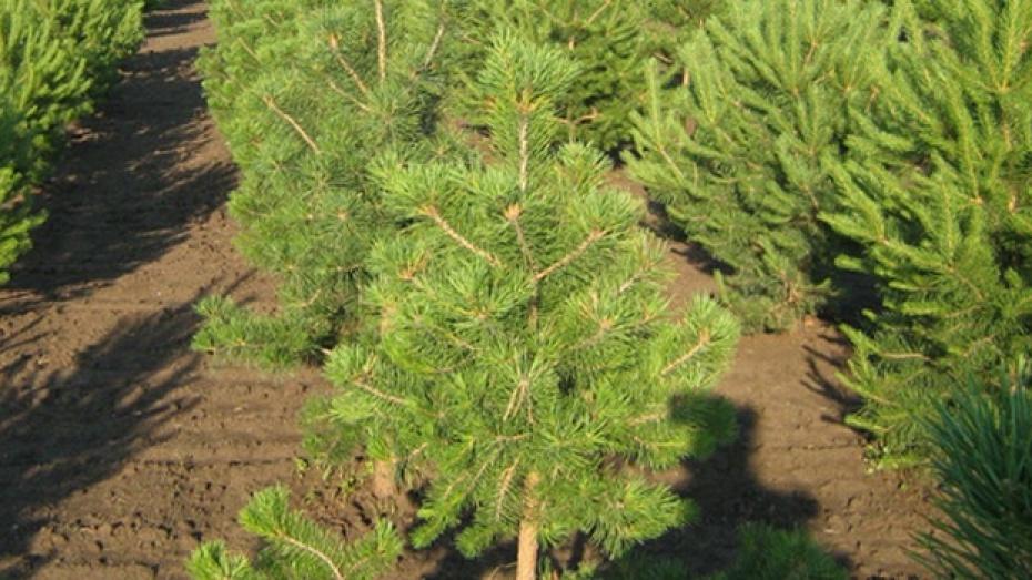Тысячи деревьев и кустарников из Подгоренского района украсили Сочи