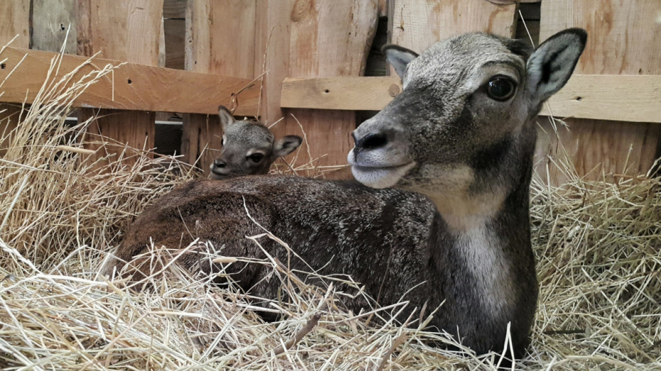 В воронежском зоопитомнике появилась муфлон Мармеладка с детенышем