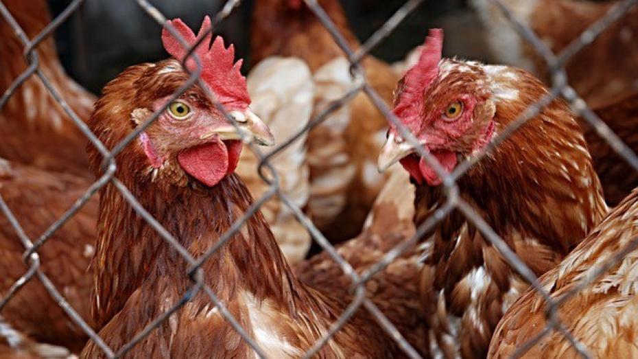 Под Воронежем на птицефабрике задохнулись 300 тыс кур