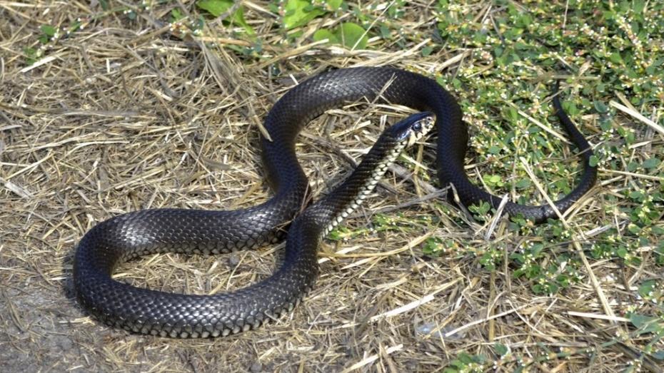 В Грибановке змея укусила 37-летнего мужчину во дворе