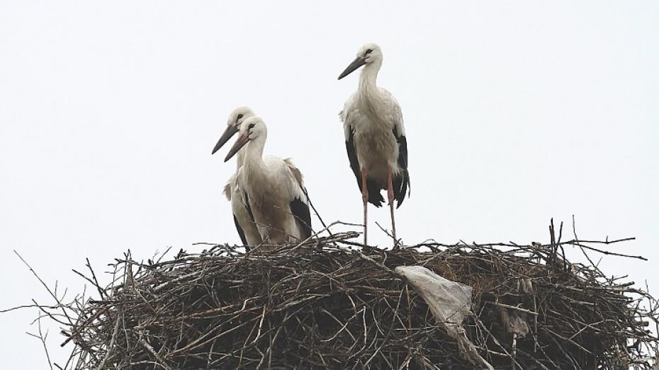 Поселившаяся на границе Воронежского заповедника пара аистов обзавелась птенцами
