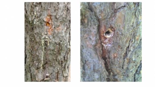 В Воронеже неизвестные повредили 70 сосен в Северном лесу