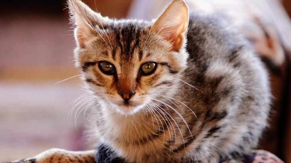В Павловске ввели карантин по бешенству из-за домашней кошки