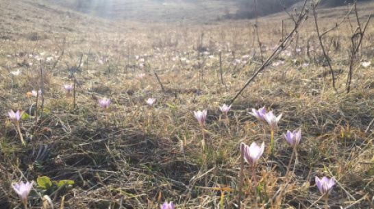 В Россошанском районе впервые за 20 лет массово зацвел шафран сетчатый