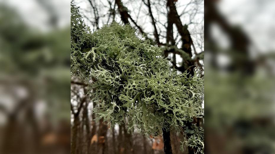 В Новохоперском районе теплая зима спровоцировала рост лишайника в лиственных лесах