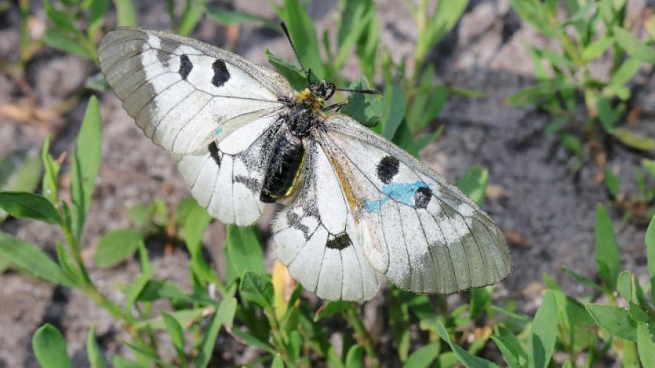 В Воронежском заповеднике пометят редких бабочек мнемозин