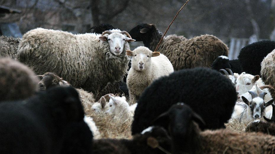 В Воронежской области поймали банду похитителей овец