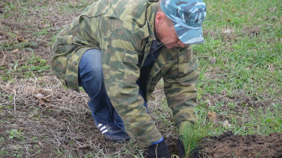В Верхнемамонском районе высадили сеянцы сосны на площади более 200 га