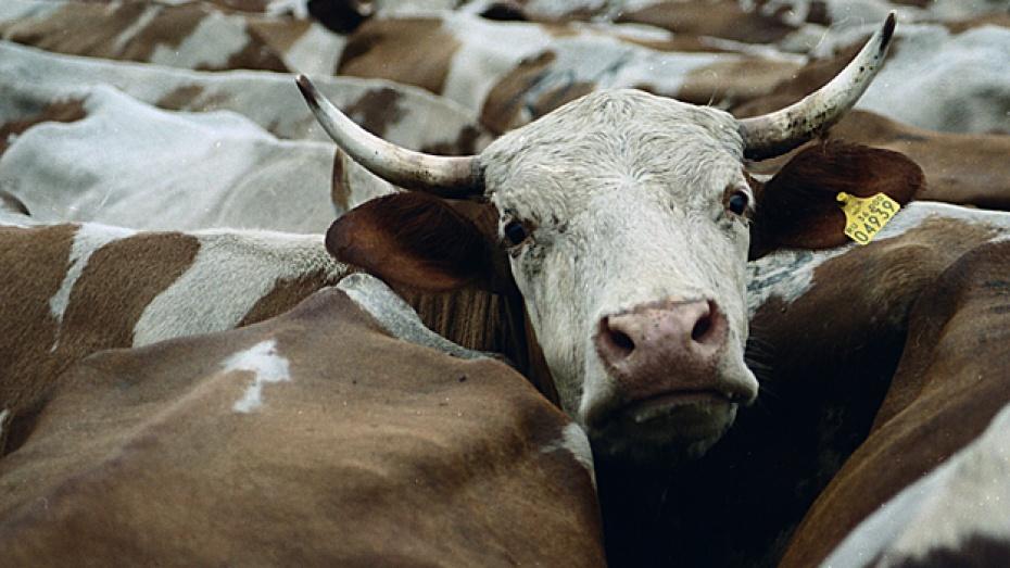 Лискинский район поставил молочный рекорд