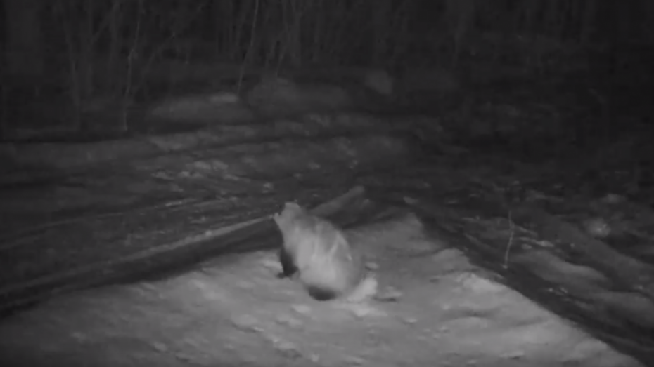 В Воронежском заповеднике барсук попал в фотоловушку после зимней спячки