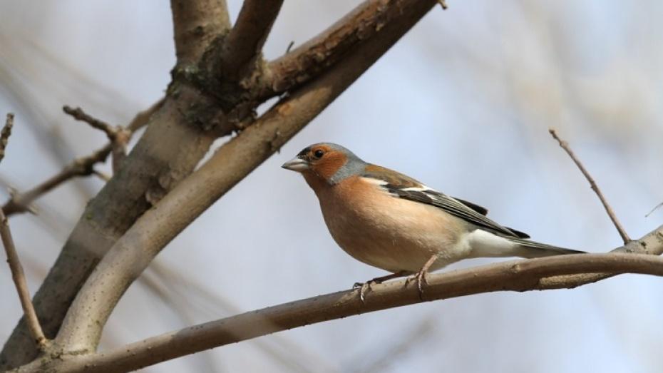 Птицы воронежской области фото с названиями