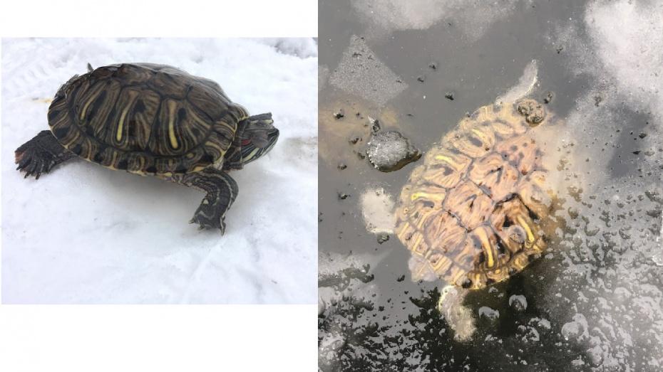 Воронежец освободил экзотическую черепаху из-подо льда водохранилища