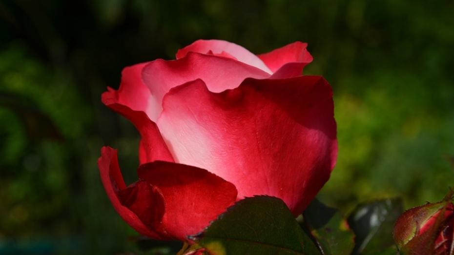 Полиция возбудила дело о краже 27 кустов роз из воронежского парка