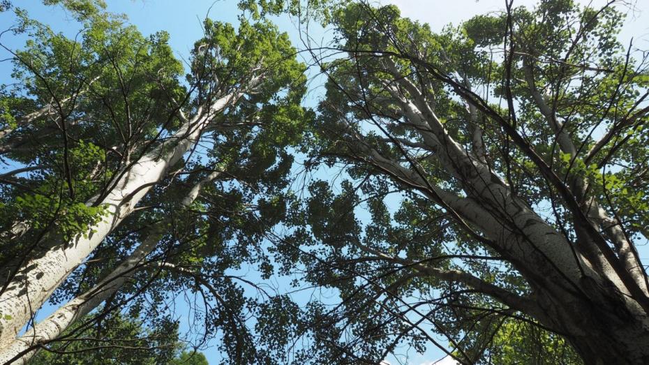 В Воронеже на левом берегу вырубят 173 дерева