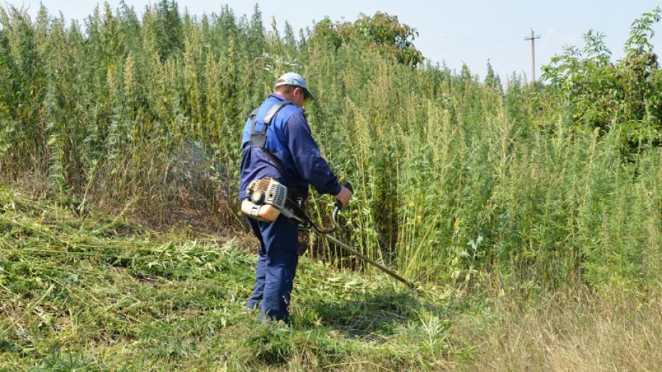 В Воронежской области наркополицейские уничтожили более тонны конопли