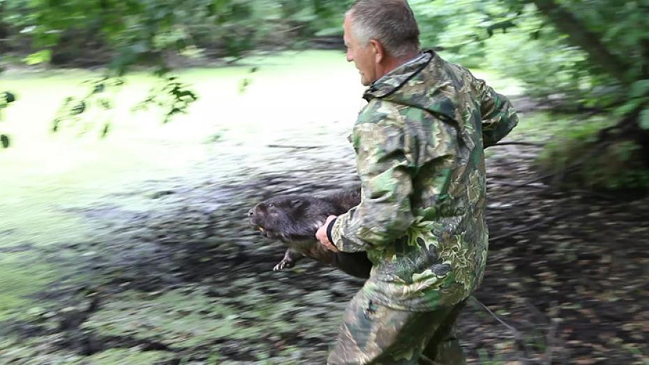 В Воронежском заповеднике выпустили в дикую природу четырех бобров