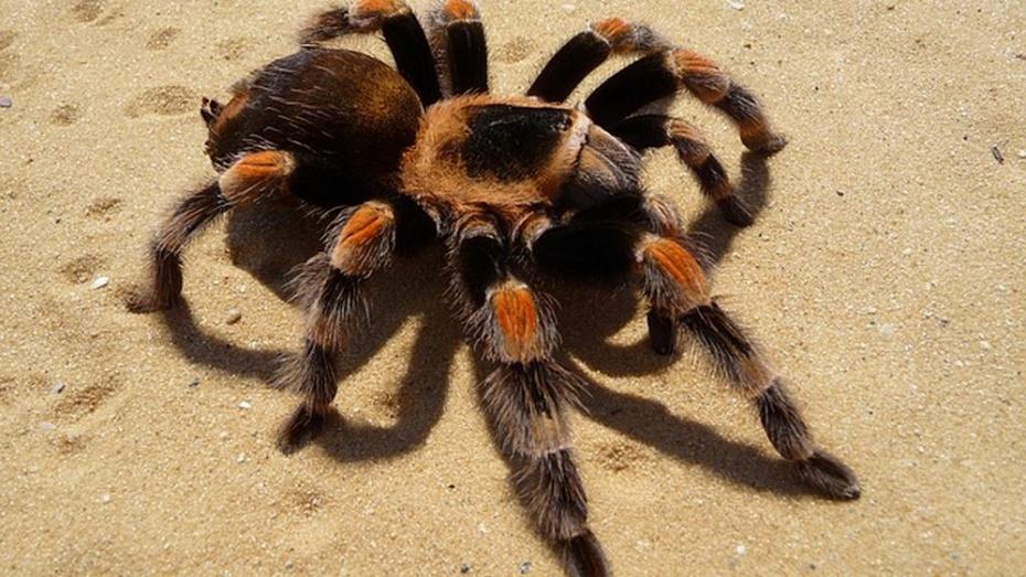 Австралийский город оккупировали 25 тыс тарантулов