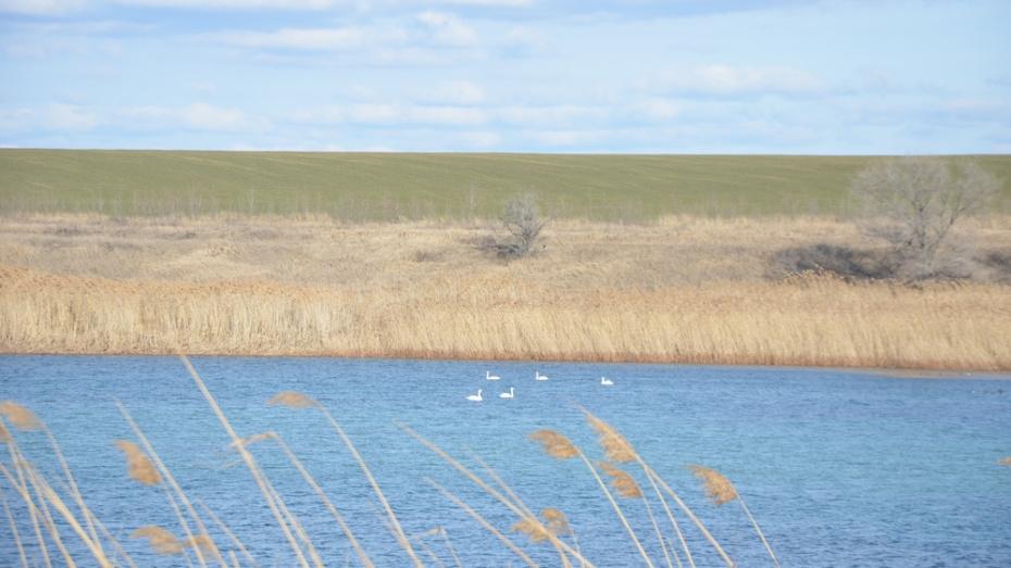 В Павловский район на месяц раньше вернулись белые лебеди