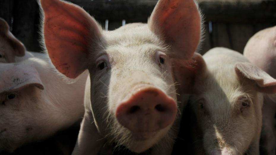 В Воронежской области работники свинокомплекса похитили 39 поросят
