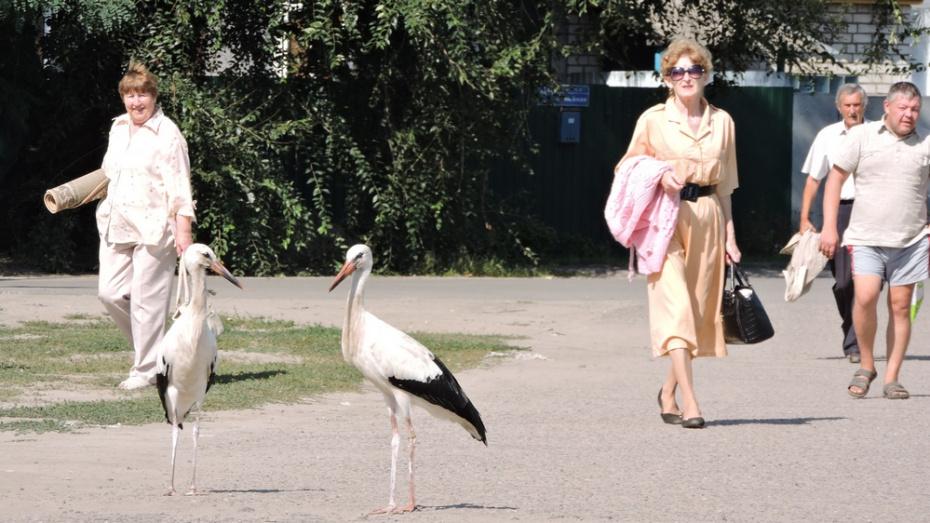 В Борисоглебске на центральной улице поселилась пара аистов